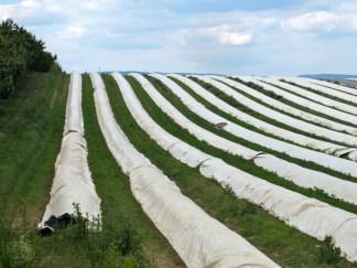 White asparagus field