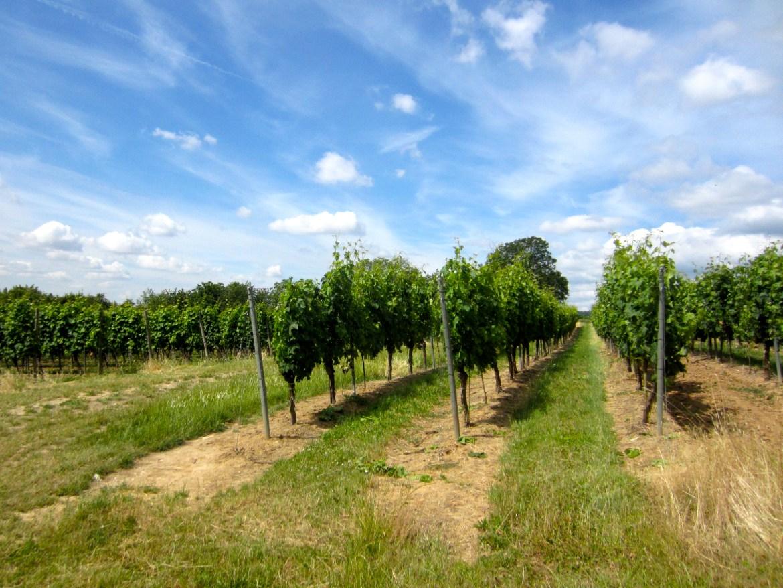 Vineyards in the sunshine