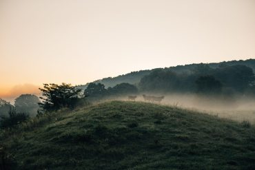 Cows in the mist on a hill