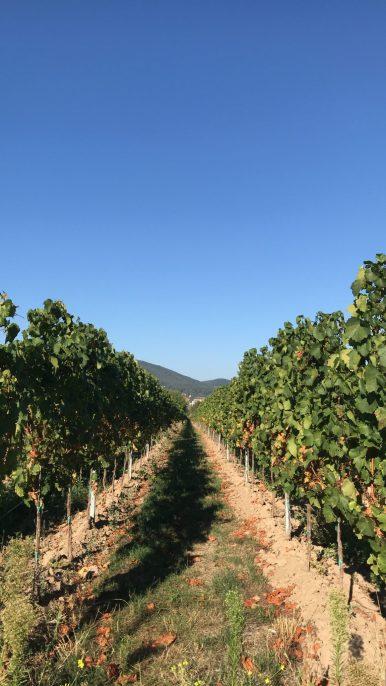 View of vines in a German vineyard