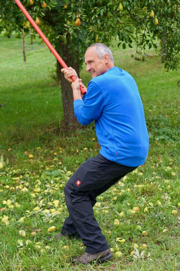 Man with a stick shaking a pear tree in an orchard