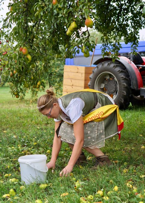A woman in a dirndl collecting fallen pears from a tree with a white bucket