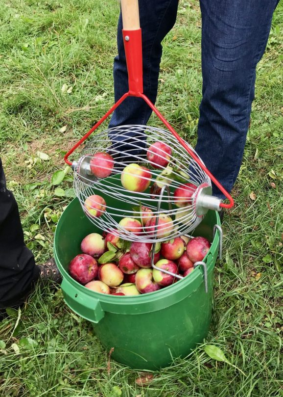 An apple collector being emptied into a bucket