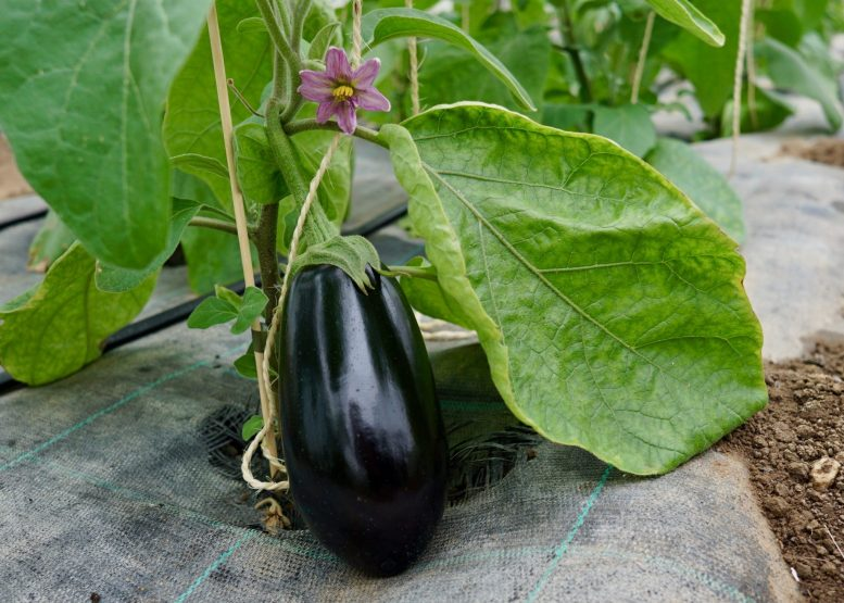 An aubergine on a plant at Domäne Mechtildshausen