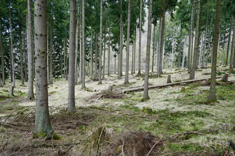 Tall thin tree trunks in a forest