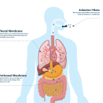 mesothelioma causes dangerous asbestos exposure risksdiagram showing how asbestos exposure affects the body