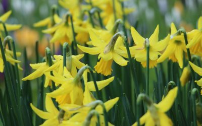 Daffodils by Katherine McCormack