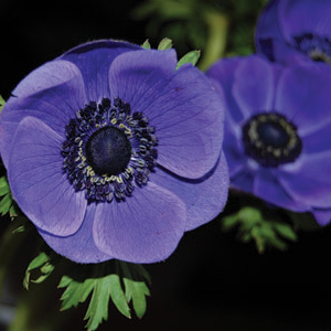 Anemone Galilee Blue 1 - 2014 Cut Flowers of the Year