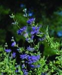 Caryopteris Longwood Blue - 2015 Cut Flowers of the Year