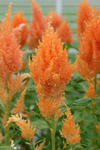 Celosia Sunday Orange - 2015 Cut Flowers of the Year