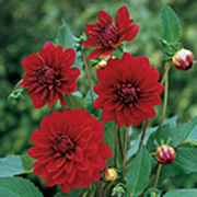 Dahlia Karma Naomi - 2010 Cut Flowers of the Year