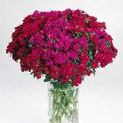 Dianthus - 2004 Cut Flowers of the Year