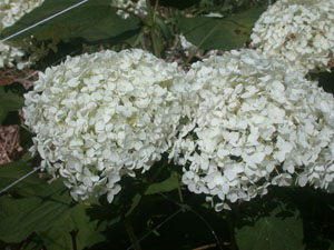 Hydrangea Annabelle - 2016 Cut Flowers of the Year