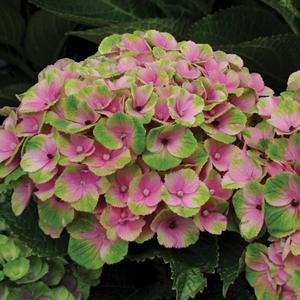 Hydrangea Everlasting Series - 2014 Cut Flowers of the Year