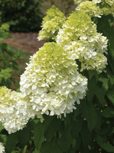 Hydrangea Limelight - 2007 Cut Flowers of the Year