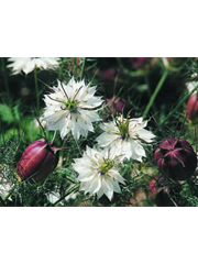 Nigella Cramers Plum - 2005 Cut Flowers of the Year