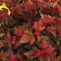 Physocarpus Coppertina - 2011 Cut Flowers of the Year