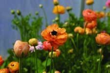 Ranunculus La Belle Series - 2015 Cut Flowers of the Year