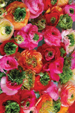 Ranunculus Super Green - 2013 Cut Flowers of the Year