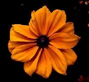 Rudbeckia - 2000 Cut Flowers of the Year