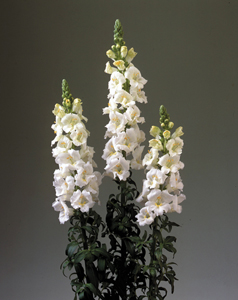 Snapdragon Chantilly Series - 2014 Cut Flowers of the Year