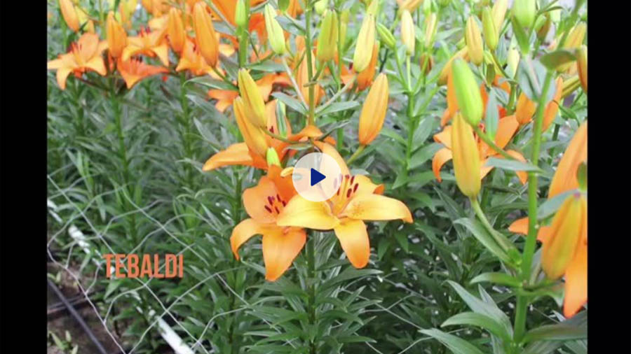 Tebaldi image - Zabo Plant