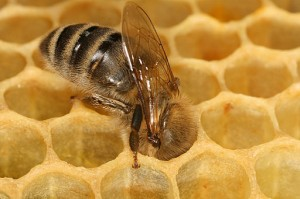 Apis bee in honeycomb
