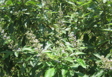 The Philippines is eyeing a more natural form of treatment in the lagundi plant as a more natural form of treatment against Covid-19.