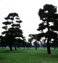 Dwarf Pine trees