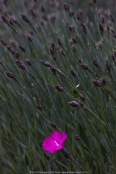 Early bloomer (Dianthus gratianopolitanus)