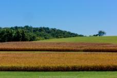 Corn Fields (2010) - Pughtown & St Matthews Rds