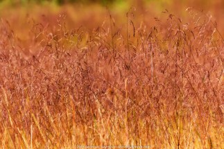 Wild Grass in the Field