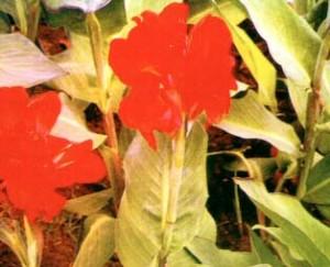 Khasiat Obat dan Manfaat Bunga Tasbih