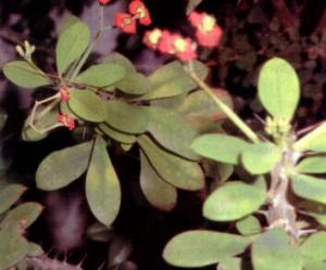Khasiat Obat dan Manfaat dari Tanaman Kaktus Pakis Giwang