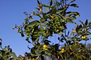 Kandungan Gizi dan Komposisi dari Kacang Gude atau Kacang Bali