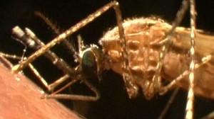Hati-hati, Malaria Monyet Juga Menyerang Manusia