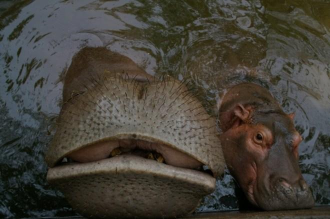 hippos at chiang mai zoo