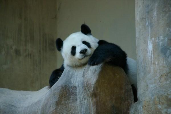 panda bear chiang mai zoo thailand