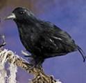 Halloween-2013---Feathered-crow
