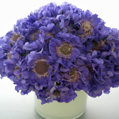 Flowers-by-Season-March-Scabiosa