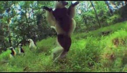 lemurs video