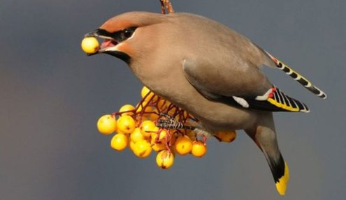 resources for birding - yellow cardinal