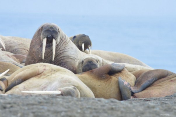 Walruses laying on the beach in the Arctic