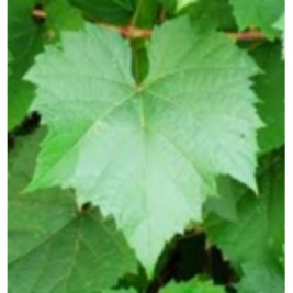 Grape leaf for grilling