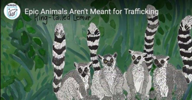 Illegal wildlife trade video