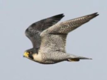 Peregrine Falcon in flight on Nantucket