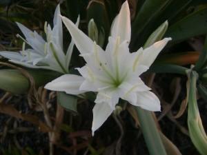 le narcisse du sharon et la fleur de lys
