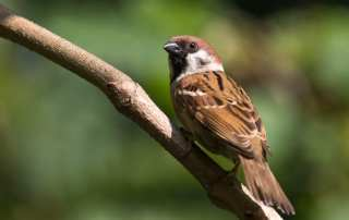 ohio tree sparrow