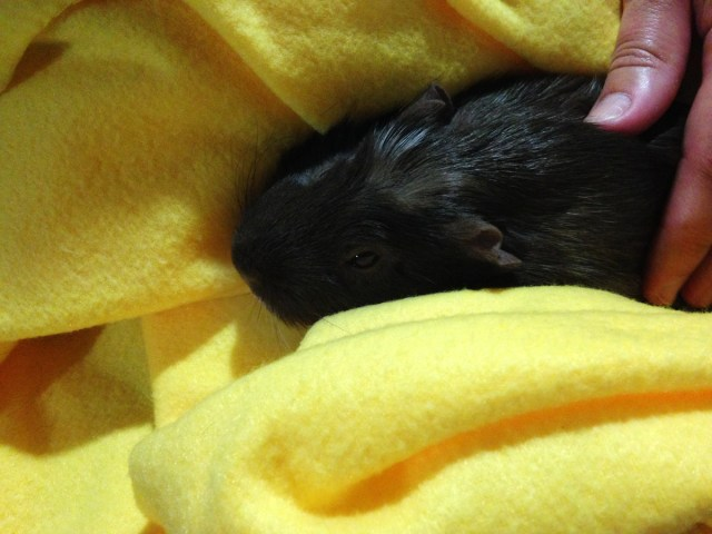 Brown guinea pig being petted on a yellow blanket
