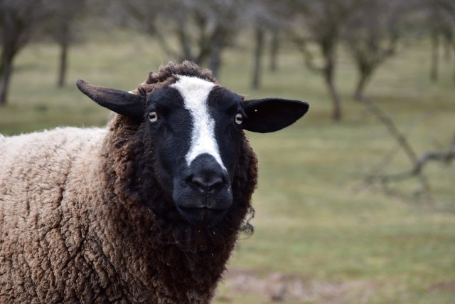 50 Adorable Sheep Facts by Ashlee Craft